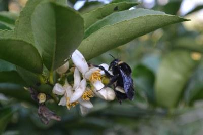 C - Florada da Laran.JPG